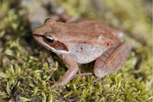 Wood frog. Photo by S.C. Lougheed.